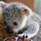Koala (baby)