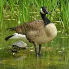 Canada Goose Nest