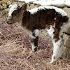 Yak calf
