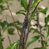 Darner (Dragonfly)
