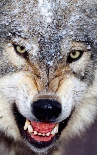 オオカミライブ壁紙