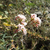 Arizona Buckwheat
