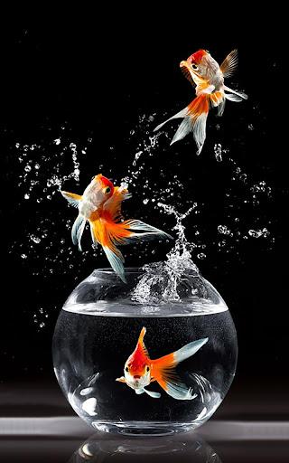 金魚ライブ壁紙
