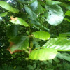 Grey alder - ontano