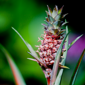 Mini Pineapple  by Danielle Falknor - Nature Up Close Other Natural Objects ( tropical plant, wild plant, wild pineapple )