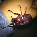 Coconut Rhenoceros Beetle