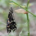 Palmedes Swallowtail butterfly