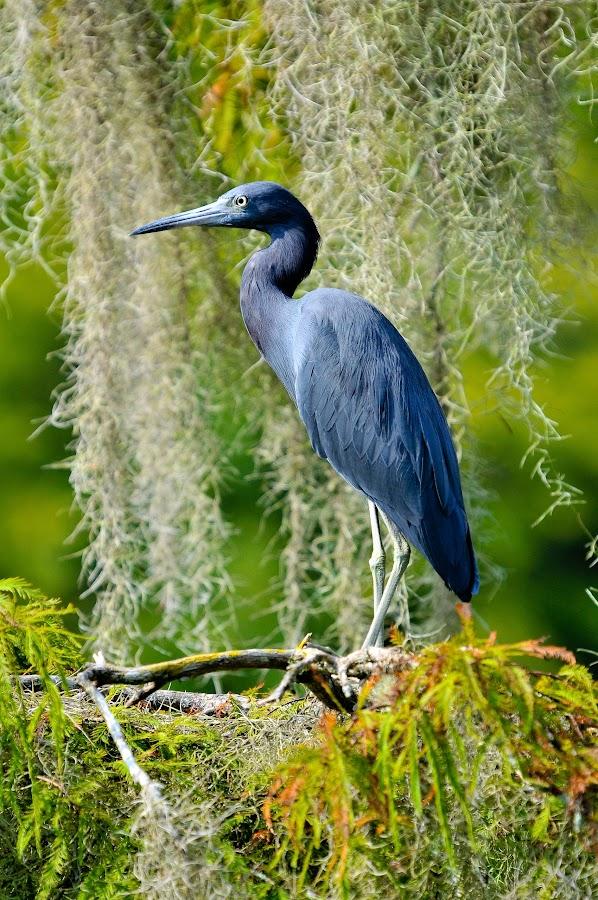 Blue Heron at Wakulla Springs by Richard Baas - Animals Birds ( tallahassee, richard baas, florida,  )