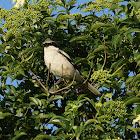 Loggerhead Shrike