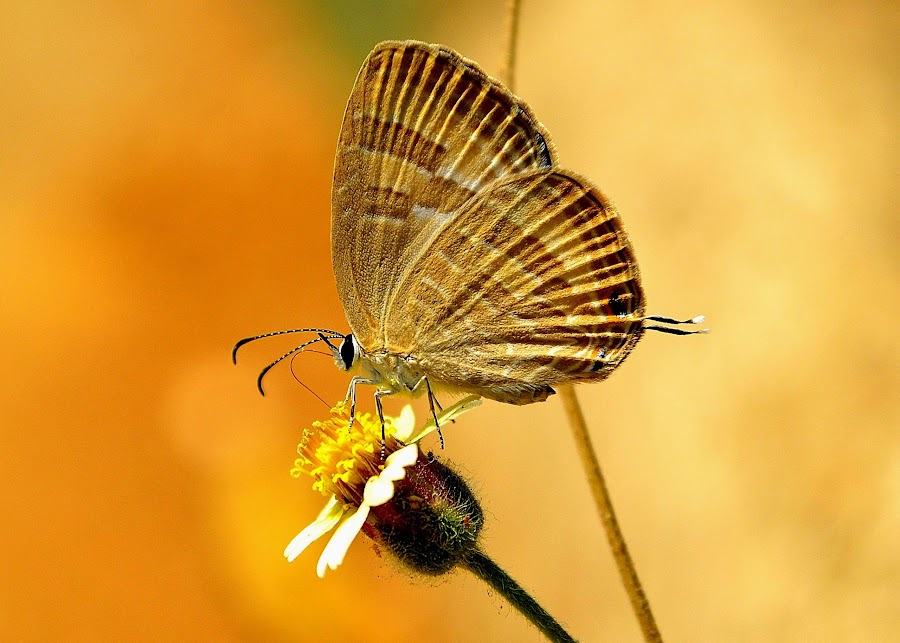 Butterfiy by Cijo Ceazer - Animals Other ( butterfly, flower, close, , animal, butterfy )