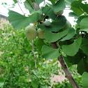 Ginkgo Tree (Seeds)
