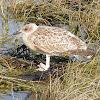 European Herring Gull (Fledgling)