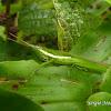 Long nosed grasshopper