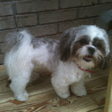 Matle-Shitz (Maltese and Shi Tzu mix)