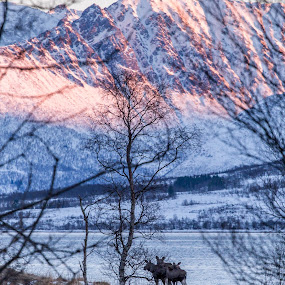 Mooses by Benny Høynes - Animals Other ( mountains, moose, sunrise, woods, norway, animal )