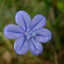 blue grass lily; junquillo azul
