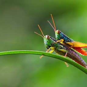 Gendong by Kurit Afsheen - Animals Insects & Spiders (  )