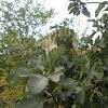 Ficus carica (Higuera. Fig tree)