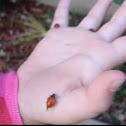 California ladybeetle