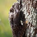 Eastern Bearded Dragon