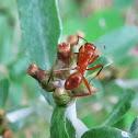 Reddish carpenter ant