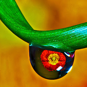 Poppy in water by David Winchester - Nature Up Close Natural Waterdrops (  )