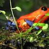 Blue-jeans poison dart Frog