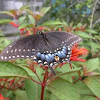 Eastern Black Swallowtail (female)