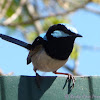 Superb Fairy-wrens (male)