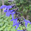 Giant Blue-black Salvia