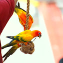 Sun Parakeet / Sun Conures