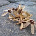 Queen's Wreath/Sandpaper Vine