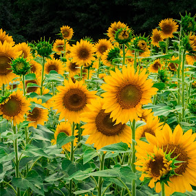 Sunflower Field by Russell McFarland - Landscapes Prairies, Meadows & Fields ( flower garden, sunflowers, meadow, sunflower, meadows, flowers, garden, flower, sun,  )
