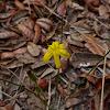 Grassleaf Yellow Star Grass