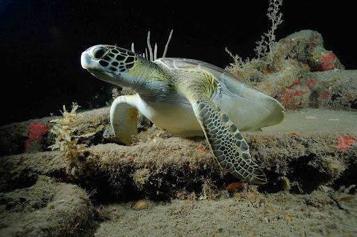 A sea turtle bides its time in the ocean reef just off of St. Eustatius.