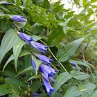 Gentiana asclepiadea - Willow gentian