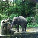 Asian Elaphant