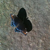 Intergrade between White Admiral & Red-Spotted Purple