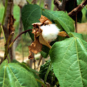 Wild Cotton