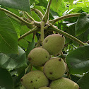 Japanese Walnut