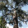 Caribbean Pine