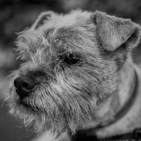 Tyke by John Ash - Animals - Dogs Portraits ( black and white, pet, terrier, border )