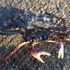 Variegated shore crab