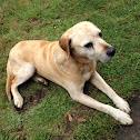 Rhodesian Fila Brasilero Dog