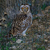 Coruja-do-nabal ...Short-eared Owl