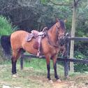 Caballo / horse