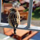 House Sparrow, Eurasian tree sparrow