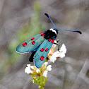 Wasp moth zygaena. Polilla zygaena