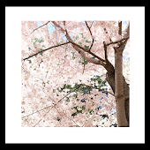 cherryblossoms livewallpaper