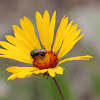 Common Gaillardia with fly